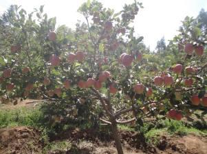 apple-trees-7